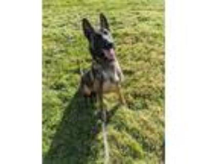 Adopt Rex a Belgian Shepherd / Malinois