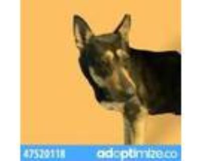 Adopt 47520118 a Black Shepherd (Unknown Type) / Mixed dog in El Paso