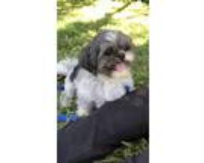 Adopt Tennesse a Shih Tzu / Mixed dog in Davie, FL (15266263)