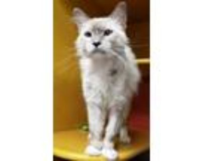 Adopt Chayane a Siamese, Domestic Short Hair
