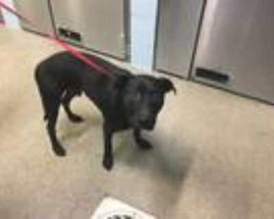 Adopt CLYDE a Pit Bull Terrier, Mixed Breed