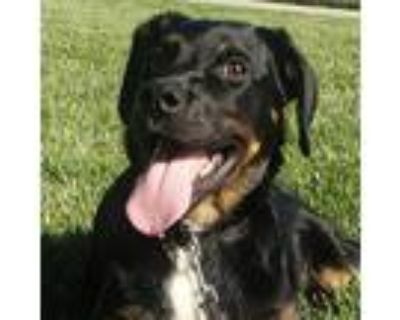 Adopt Barnacle Bill a Black Border Collie / Rottweiler / Mixed dog in St.