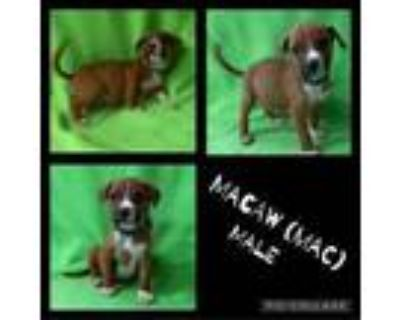 Adopt Macaw a Boxer