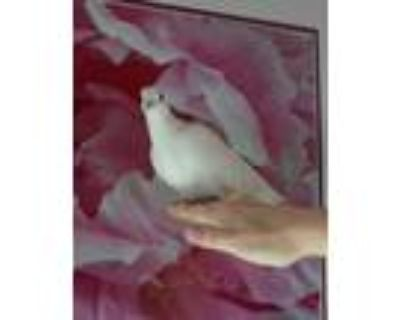 Adopt Atom w/Scoop a White Dove bird in San Francisco, CA (23324566)