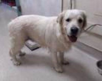 Adopt MAX a White Golden Retriever / Mixed dog in Pasadena, CA (31906338)