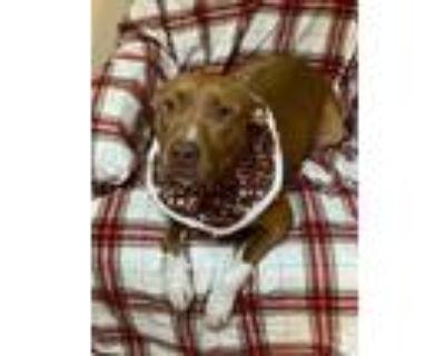 Adopt Erin a Staffordshire Bull Terrier