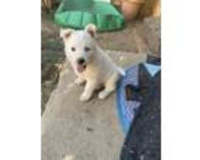 Adopt Maxey a White Husky / Alaskan Malamute / Mixed dog in West Hills