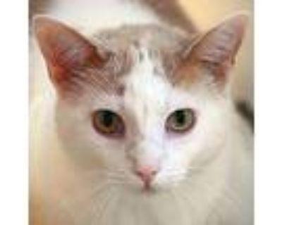 Peyton, American Shorthair For Adoption In Huntley, Illinois