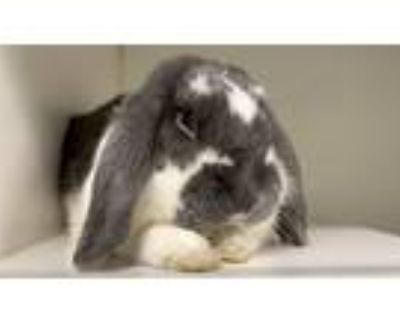 Adopt Thumper a American Fuzzy Lop / Mixed rabbit in New York, NY (31150619)