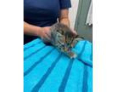Adopt BELL PEPPER a Brown Tabby Domestic Shorthair / Mixed (short coat) cat in