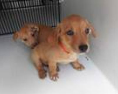 Adopt BUDDY a Brown/Chocolate - with White Labrador Retriever / Mixed dog in