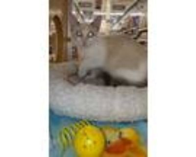Adopt Carol a White Siamese / Domestic Shorthair / Mixed cat in Spring Brook