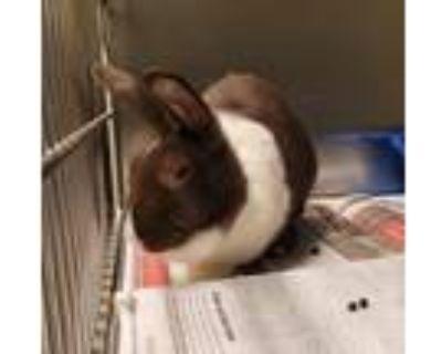 Adopt Blueberry a Rex / Mixed rabbit in Golden, CO (31442038)