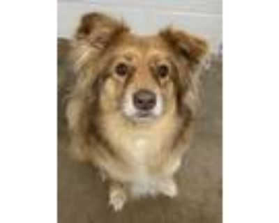 Adopt Moose a Border Collie, Mixed Breed