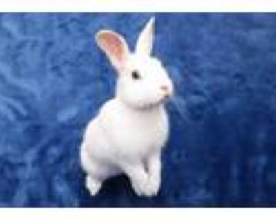 Adopt PICASSO a Black Other/Unknown / Mixed rabbit in San Jose, CA (32026703)