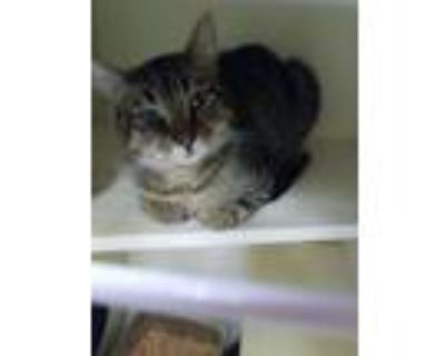Adopt Aileen a Domestic Shorthair / Mixed (short coat) cat in Portsmouth