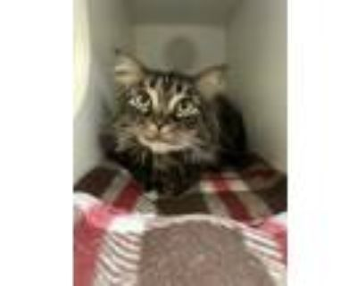 Adopt Loki a Brown or Chocolate Maine Coon / Domestic Shorthair / Mixed cat in