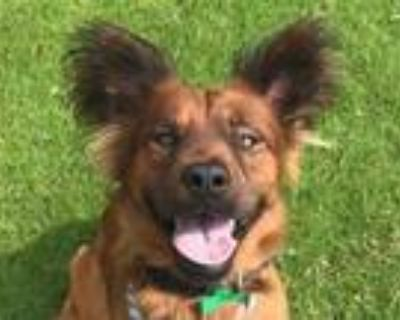 Adopt GIZMO a Chow Chow, Mixed Breed