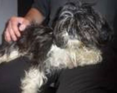 Adopt Madi a Black - with White Shih Tzu / Mixed dog in Troy, OH (32025269)