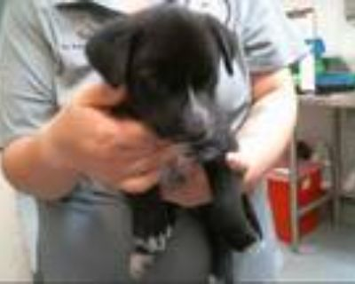 Adopt EARL a Black - with White Australian Cattle Dog / Mixed dog in