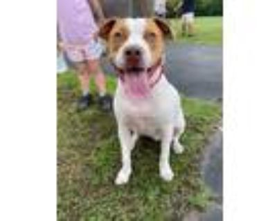 Adopt Roscoe a American Pit Bull Terrier / Mixed dog in Germantown