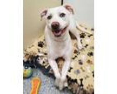 Adopt Archie (East Campus) a White American Pit Bull Terrier / Mixed dog in