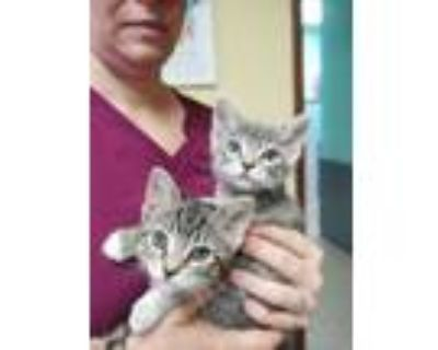 Adopt Periwinkle a Russian Blue, Tabby