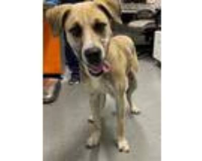 Adopt THOR a Tan/Yellow/Fawn Labrador Retriever / German Shepherd Dog / Mixed