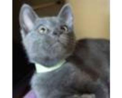 Adopt Baxter -$50 a American Shorthair, Domestic Short Hair