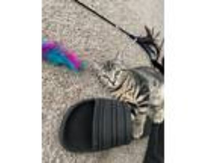 Adopt Tiger a Gray or Blue American Shorthair / Mixed cat in Arlington