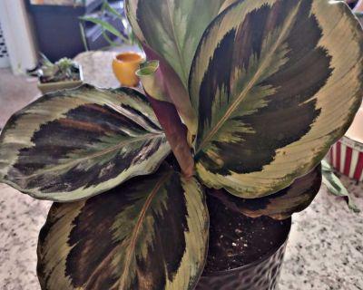 Live Jungle Velvet Calathea Plant with Black Planter