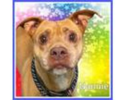Adopt NANNIE a Brown/Chocolate - with White American Pit Bull Terrier / Mixed
