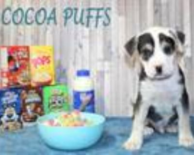 Adopt Cocoa Puffs a White American Staffordshire Terrier / Mixed dog in Morton