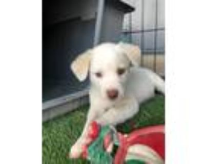 Adopt Chive a White - with Tan, Yellow or Fawn Blue Heeler / Mixed Breed