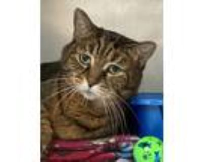 Adopt Millie - Foster Care a Brown Tabby Domestic Shorthair (short coat) cat in