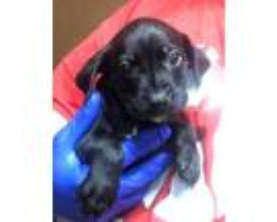 Adopt Cornell a Boxer, Miniature Pinscher