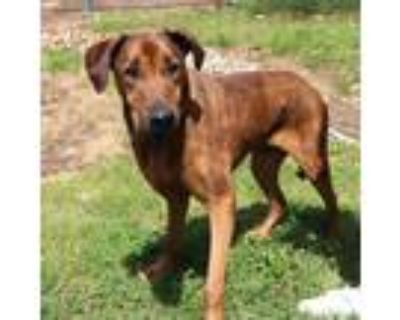 Adopt Boris a Brown/Chocolate Hound (Unknown Type) / Mixed Breed (Large) / Mixed