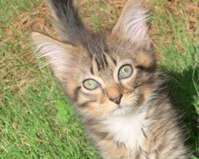 Scooter - Domestic Shorthair - Kitten Male