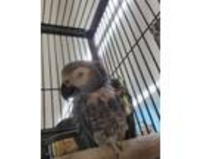 Adopt Scooter a African Grey