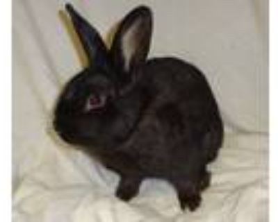 Adopt Willoughby a Black Dwarf / Mixed rabbit in Woburn, MA (32365752)