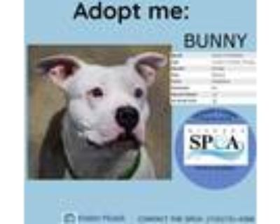 Adopt Bunny a White American Pit Bull Terrier / Mixed dog in Niagara Falls