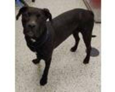 Adopt Piper a Black Labrador Retriever / Mixed dog in Kansas City, MO (29549993)
