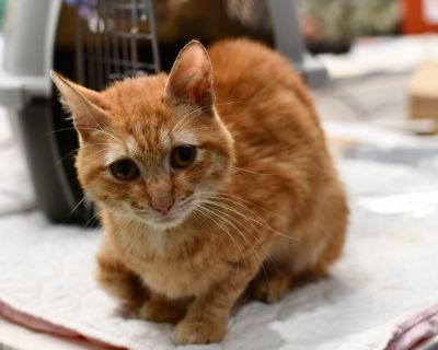 Mr. Dabbers - Domestic Shorthair - Young Adult Male