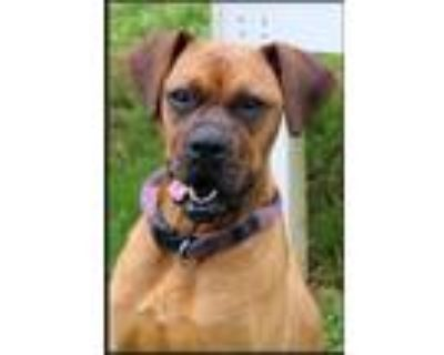 Adopt Bea a Red/Golden/Orange/Chestnut Boxer / Mixed dog in Earl, NC (28896255)
