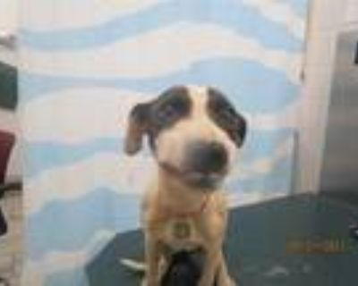 Adopt FAITH a White - with Black Pointer / Mixed dog in Mobile, AL (31486726)