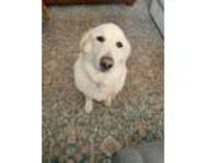 Adopt Stella Star - DFW a Great Pyrenees, Goldendoodle