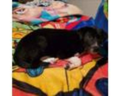 Adopt Southern Ocean a Border Collie, Mixed Breed