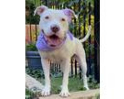 Adopt Opal a White American Pit Bull Terrier / Labrador Retriever / Mixed dog in
