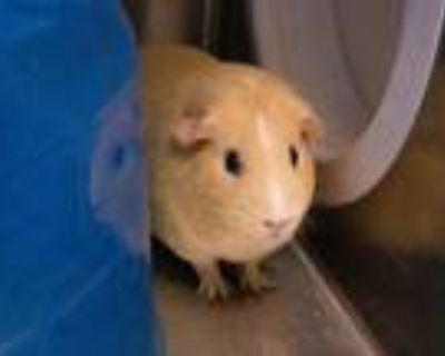 Adopt A498671 a Guinea Pig