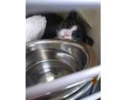 Adopt Ms. Frizzle a Domestic Shorthair / Mixed (short coat) cat in Portsmouth
